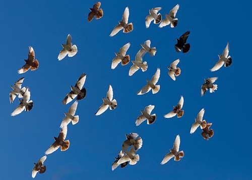 Doves Flying in Flock